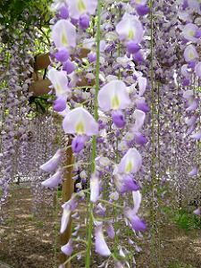 近くで見た藤の花