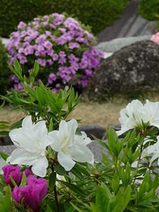 真っ白なツツジと紫色のツツジ