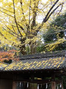 屋根に落ちたイチョウの葉
