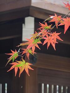 色が変わりゆくカエデの葉