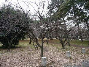 京都御苑の梅林
