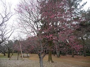 3分咲きの紅梅