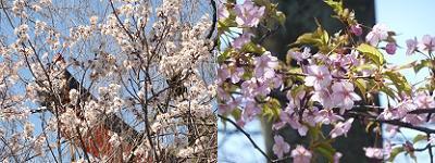 桃桜(左)と河津桜(右)