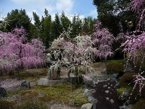 紅白の枝垂れ梅