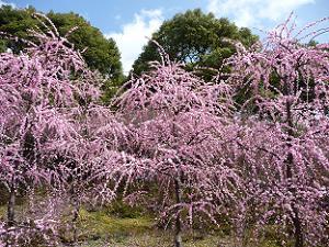 満開の枝垂れ梅