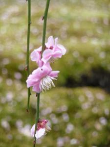 薄いピンク色の梅の花