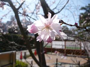 御会式桜のアップ