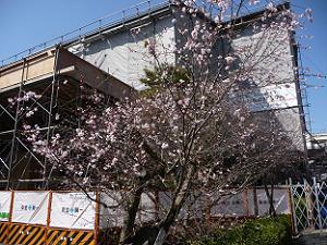 工事中の本堂と御会式桜