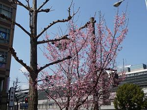 京都駅八条口の早咲きの桜