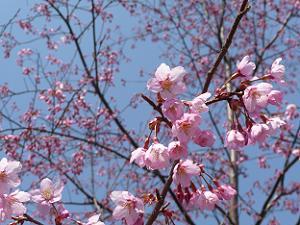 大山桜の花