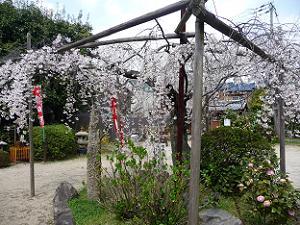 背の低い糸桜