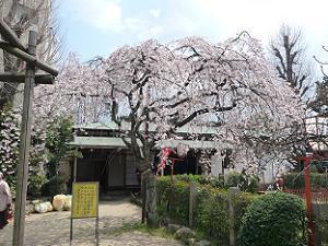 背の高い糸桜