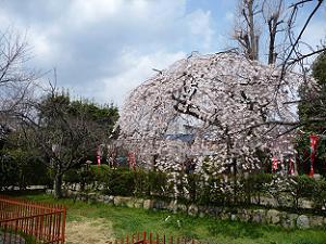 別角度から背の高い糸桜を撮影