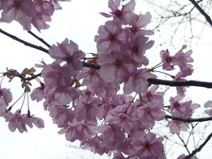 陽光桜のアップ