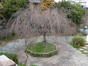 開花前の枝垂れ桜