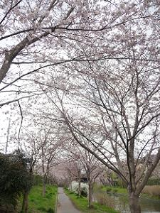 3分咲きのソメイヨシノ