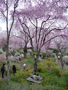 紅八重枝垂れ桜だらけ