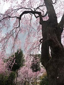 醍醐の枝垂れ桜