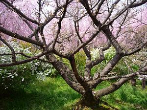 つぼみだけの御室桜