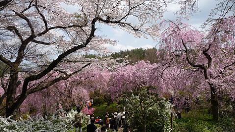 どこも桜だらけ