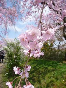 紅八重枝垂れ桜のアップ