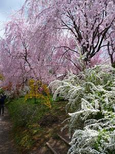 雪柳と紅八重枝垂れ桜