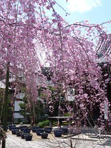 降り注ぐ桜の花