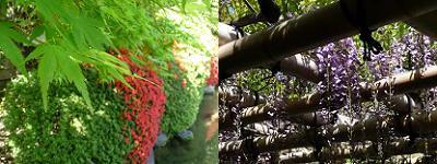 カエデの新緑と藤