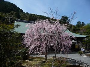 本堂手前の紅八重枝垂れ桜