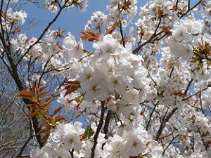 白い花がびっしり