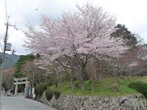 鳥居付近の桜