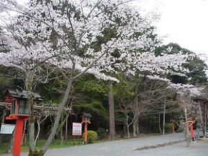 散り始めている桜