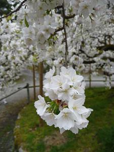 枝先の真っ白な花