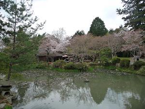 池の周囲の桜はほとんと終わり