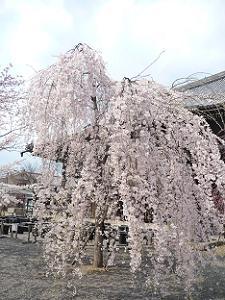 本堂前の枝垂れ桜