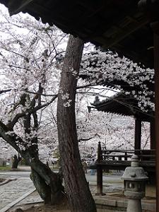 桜であふれる境内