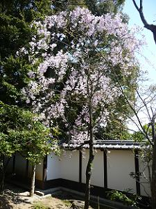 拝観受付付近の桜