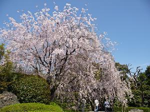 青空から降り注ぐような枝垂れ桜