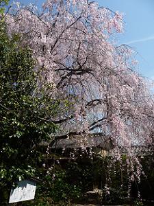 抹茶席前の紅八重枝垂れ桜
