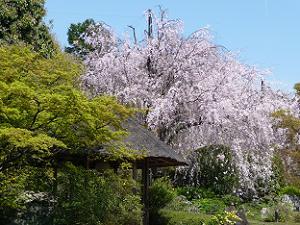青空と紅八重枝垂れ桜