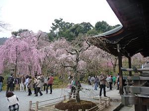多宝殿前の枝垂れ桜