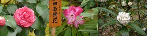 左から椿、和田石楠花、白花沈丁花