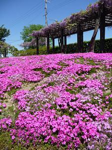 地面にびっしりと咲いたシバザクラ