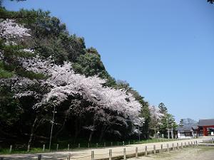 参道付近の駐車場の桜