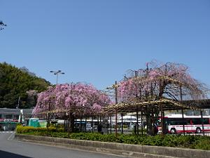 八幡市駅の紅枝垂れ桜