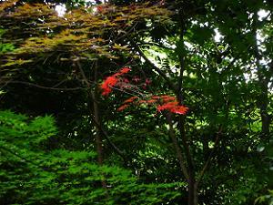 赤く染まるカエデの葉