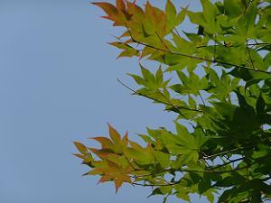 紅く色付き始めている葉