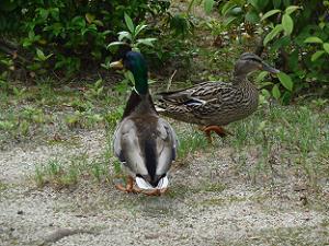 池から上がった鴨夫妻
