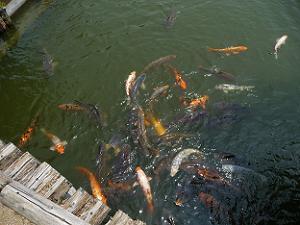 群がって来る鯉