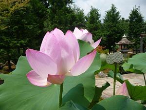 薄ピンク色のハスの花